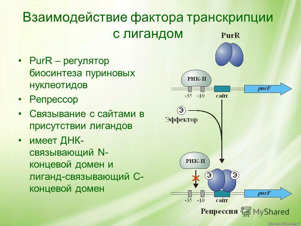 Взаимодействие фактора транскрипции с лигандом PurR – регулятор биосинтеза пуриновых нуклеотидов Репрессор Связывание с сайтами в присутствии лигандов имеет ДНК- связывающий N- концевой домен и лиганд-связывающий C- концевой домен