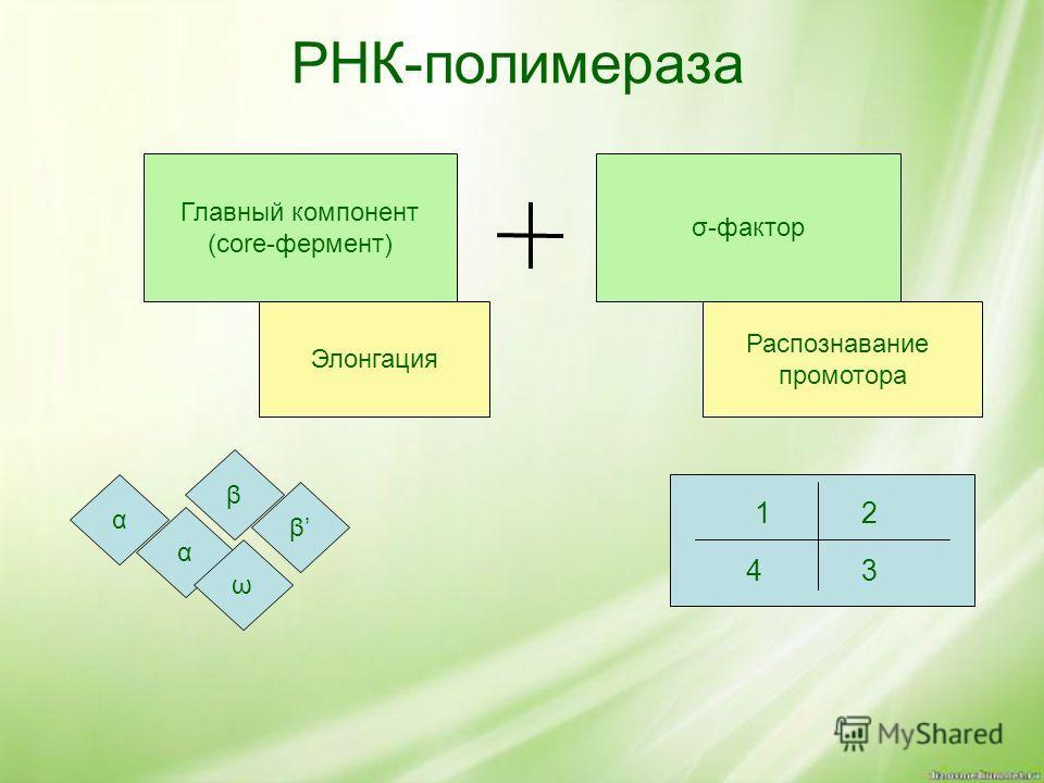 РНК-полимераза Главный компонент (core-фермент) σ-фактор Элонгация Распознавание промотора β β α ω α 12 43