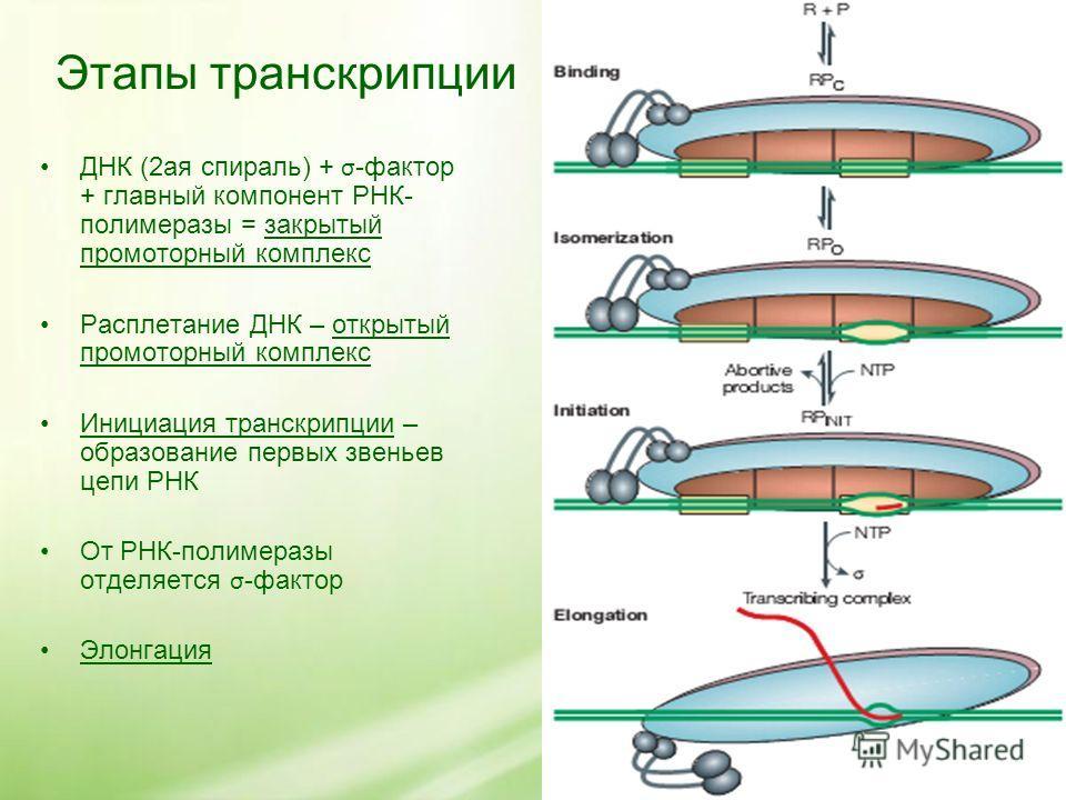 Этапы транскрипции ДНК (2ая спираль) + σ -фактор + главный компонент РНК- полимеразы = закрытый промоторный комплекс Расплетание ДНК – открытый промоторный комплекс Инициация транскрипции – образование первых звеньев цепи РНК От РНК-полимеразы отделя