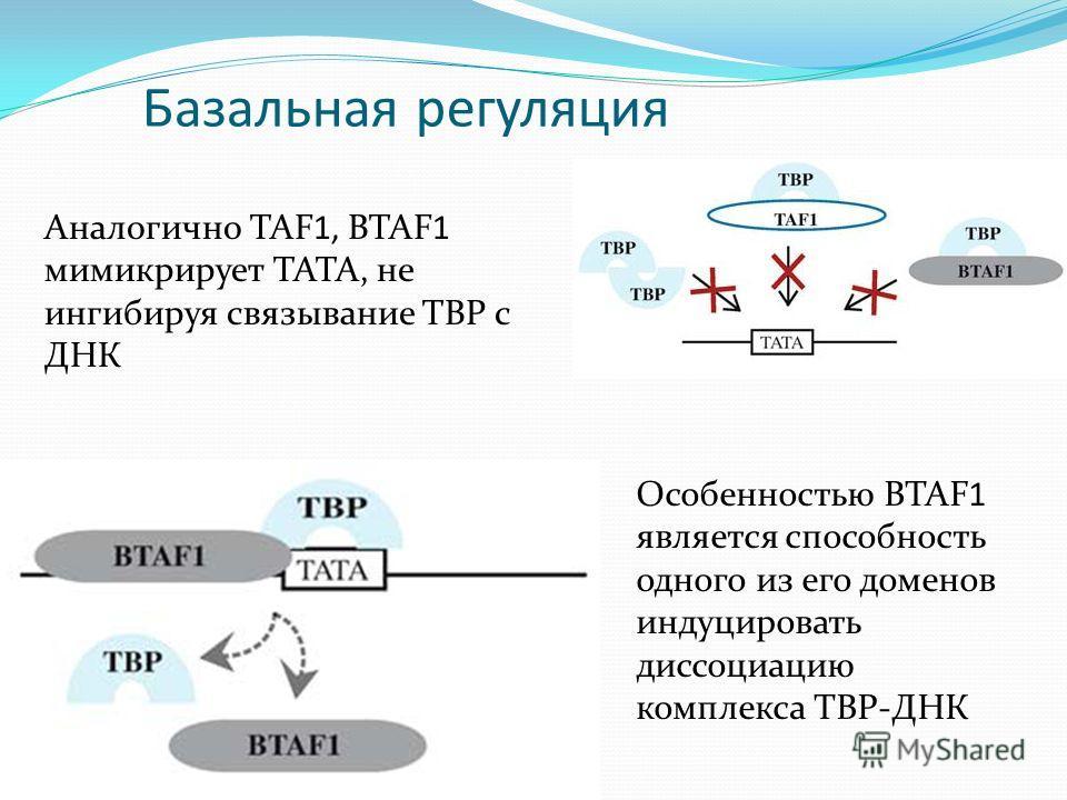Базальная регуляция Аналогично TAF1, BTAF1 мимикрирует ТАТА, не ингибируя связывание TBP c ДНК Особенностью BTAF1 является способность одного из его доменов индуцировать диссоциацию комплекса TBP-ДНК
