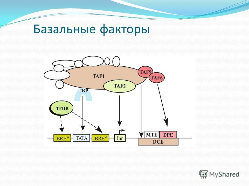 Базальные факторы
