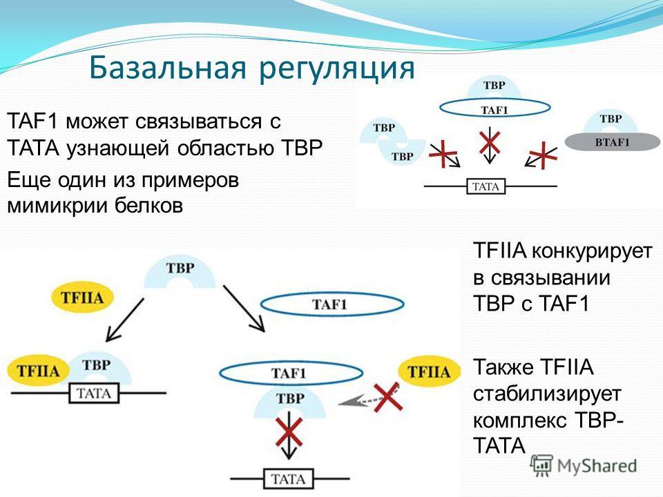 Базальная регуляция TAF1 может связываться с ТАТА узнающей областью TBP Еще один из примеров мимикрии белков TFIIA конкурирует в связывании TBP с TAF1 Также TFIIA стабилизирует комплекс ТBP- ТАТА