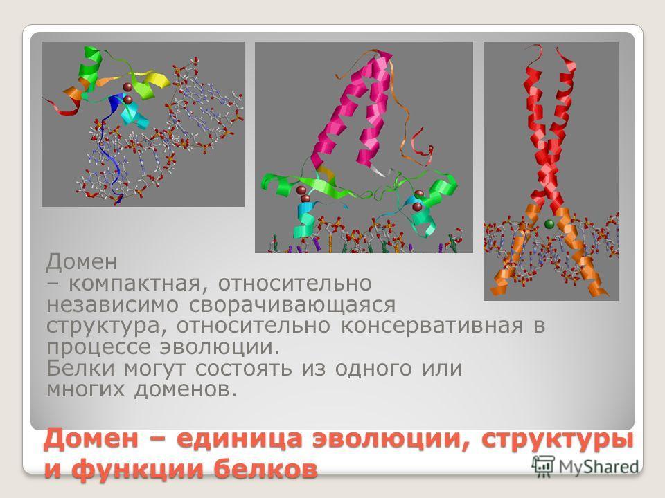 Домен – единица эволюции, структуры и функции белков Домен – компактная, относительно независимо сворачивающаяся структура, относительно консервативная в процессе эволюции. Белки могут состоять из одного или многих доменов.