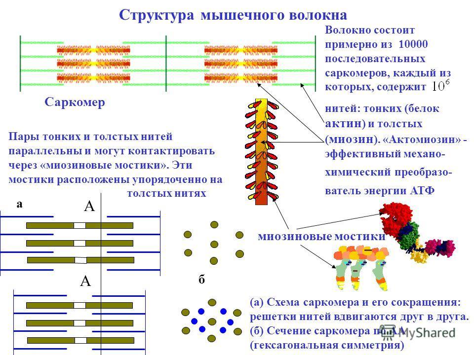 Структура мышечного волокна Волокно состоит примерно из 10000 последовательных саркомеров, каждый из которых, содержит нитей: тонких (белок актин ) и толстых ( миозин ). «Актомиозин» - эффективный механо- химический преобразо- ватель энергии АТФ Сарк