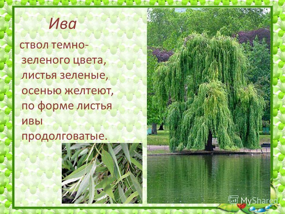 Ива ствол темно- зеленого цвета, листья зеленые, осенью желтеют, по форме листья ивы продолговатые.