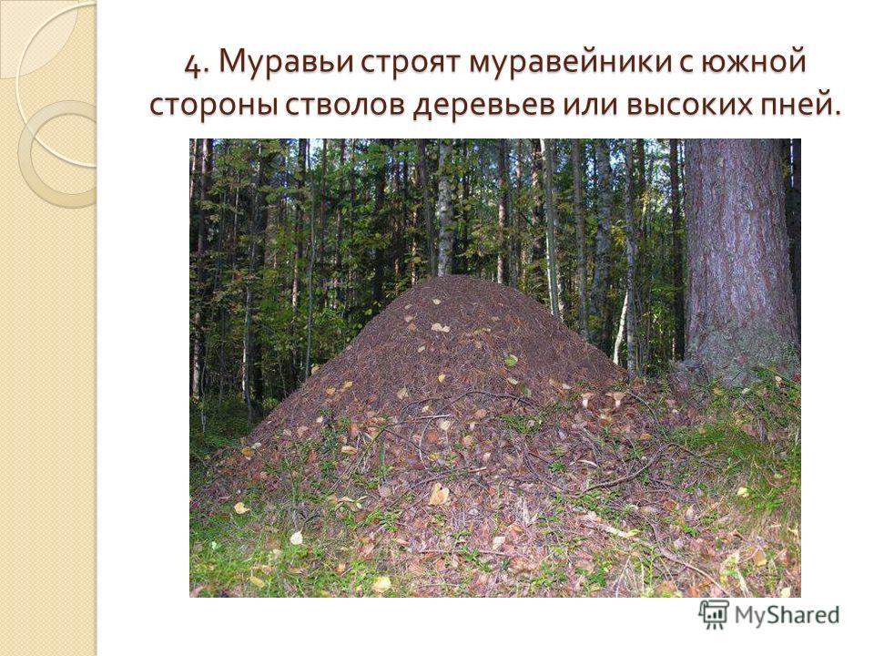 4. Муравьи строят муравейники с южной стороны стволов деревьев или высоких пней.