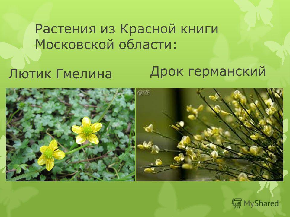 Растения из Красной книги Московской области: Лютик Гмелина Дрок германский