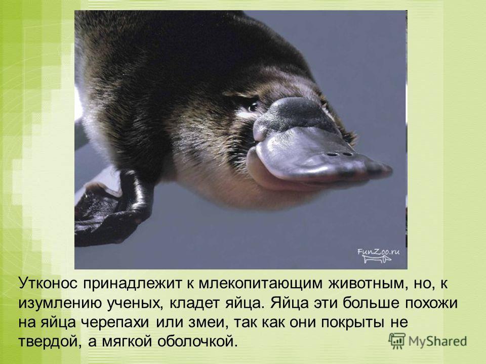 Утконос принадлежит к млекопитающим животным, но, к изумлению ученых, кладет яйца. Яйца эти больше похожи на яйца черепахи или змеи, так как они покрыты не твердой, а мягкой оболочкой.