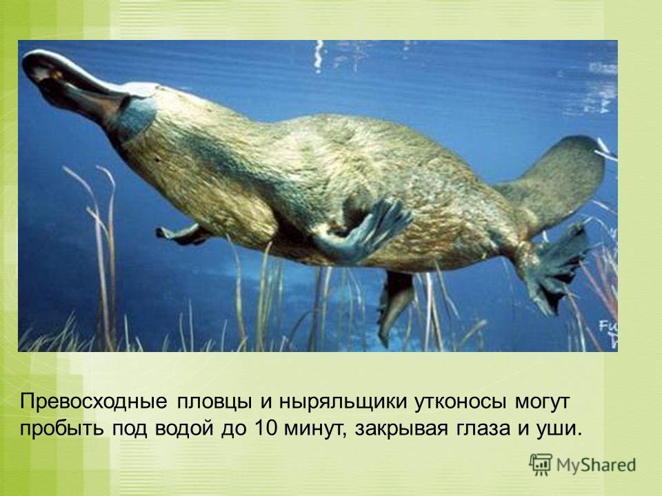 Превосходные пловцы и ныряльщики утконосы могут пробыть под водой до 10 минут, закрывая глаза и уши.