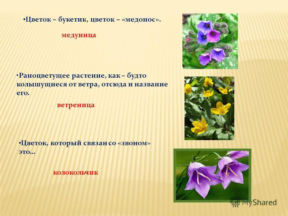 Цветок – букетик, цветок – «медонос». медуница Раноцветущее растение, как – будто колышущиеся от ветра, отсюда и название его. ветреница Цветок, который связан со «звоном» это… колокольчик