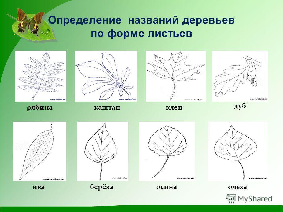 Определение названий деревьев по форме листьев рябина каштан клён дуб иваберёзаосинаольха