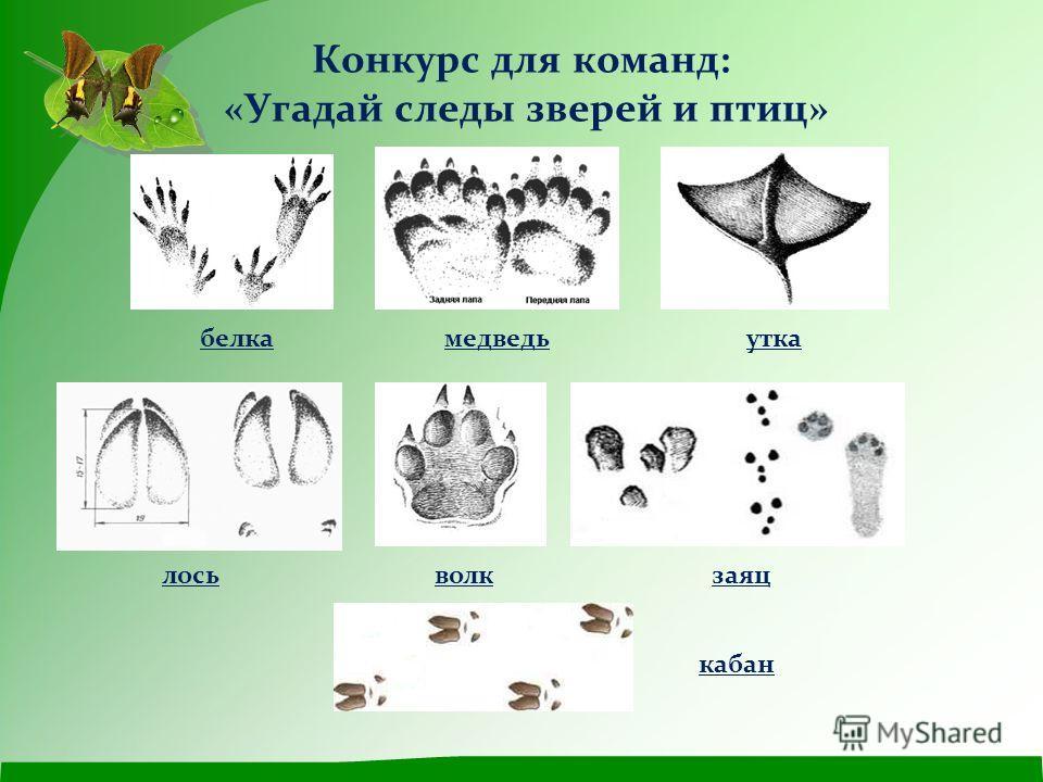 Конкурс для команд: «Угадай следы зверей и птиц» белкамедведьутка лосьволкзаяц кабан
