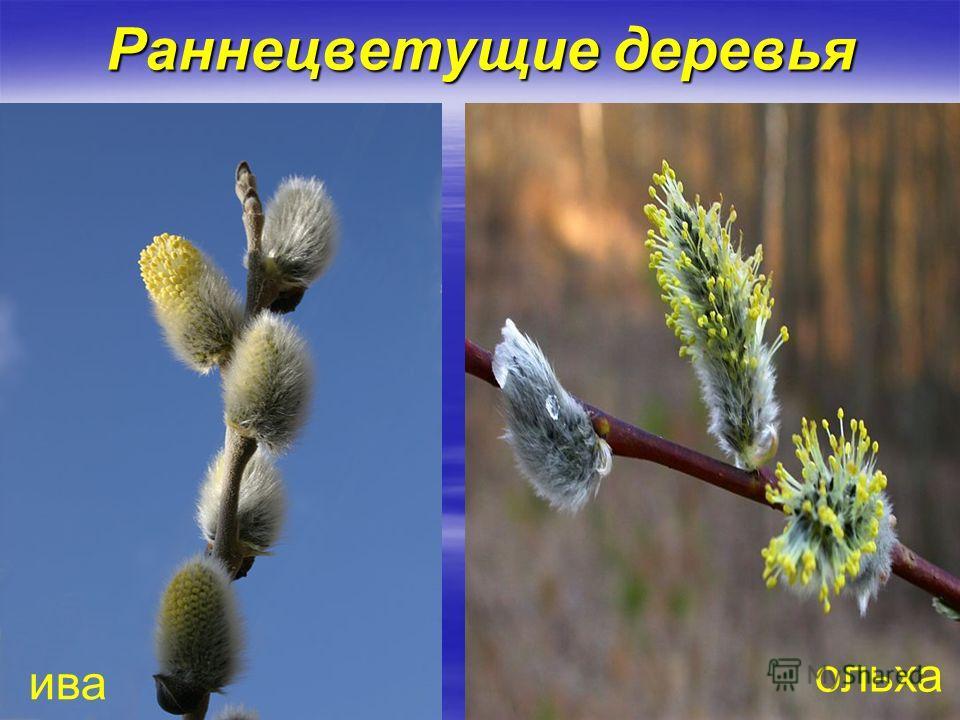 Раннецветущие деревья ива ольха