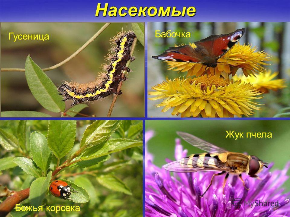 Насекомые Гусеница Божья коровка Бабочка Жук пчела
