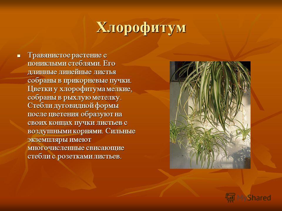 Хлорофитум Травянистое растение с пониклыми стеблями. Его длинные линейные листья собраны в прикорневые пучки. Цветки у хлорофитума мелкие, собраны в рыхлую метелку. Стебли дуговидной формы после цветения образуют на своих концах пучки листьев с возд