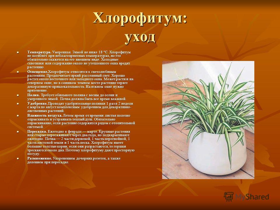 Хлорофитум: уход Температура. Умеренная. Зимой не ниже 18 °C. Хлорофитум не погибнет при неблагоприятных температурах, но это обязательно скажется на его внешнем виде. Холодные сквозняки или содержание около не утепленного окна вредят растению. Темпе