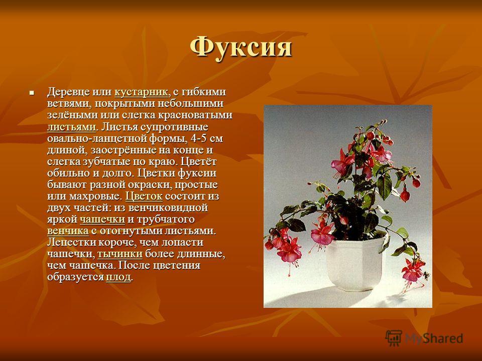 Фуксия Деревце или кустарник, с гибкими ветвями, покрытыми небольшими зелёными или слегка красноватыми листьями. Листья супротивные овально-ланцетной формы, 4-5 см длиной, заострённые на конце и слегка зубчатые по краю. Цветёт обильно и долго. Цветки