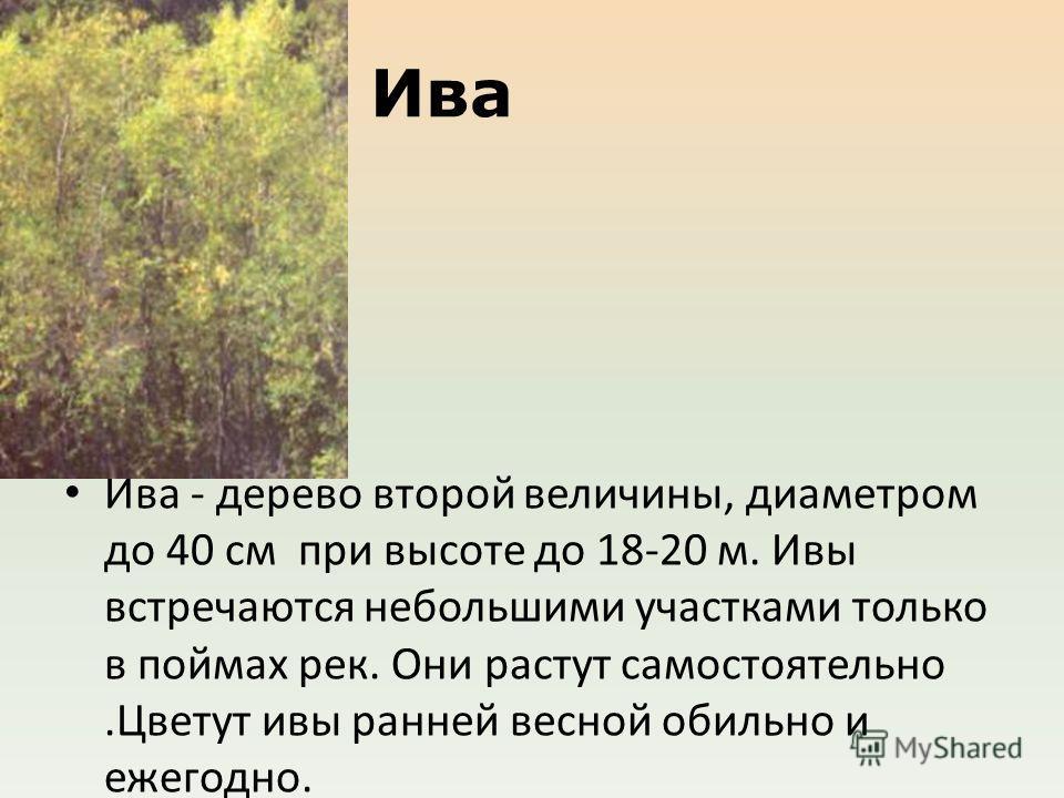 Ива Ива - дерево второй величины, диаметром до 40 см при высоте до 18-20 м. Ивы встречаются небольшими участками только в поймах рек. Они растут самостоятельно.Цветут ивы ранней весной обильно и ежегодно. Очень влаголюбива и светолюбива.