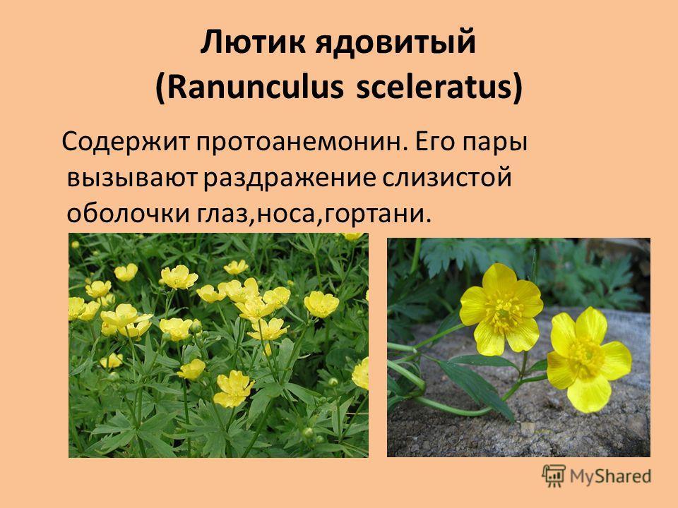 Лютик ядовитый (Ranunculus sceleratus) Содержит протоанемонин. Его пары вызывают раздражение слизистой оболочки глаз,носа,гортани.