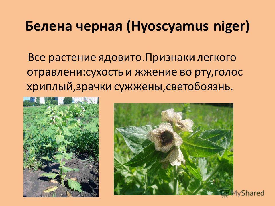 Белена черная (Hyoscyamus niger) Все растение ядовито.Признаки легкого отравлени:сухость и жжение во рту,голос хриплый,зрачки сужжены,светобоязнь.