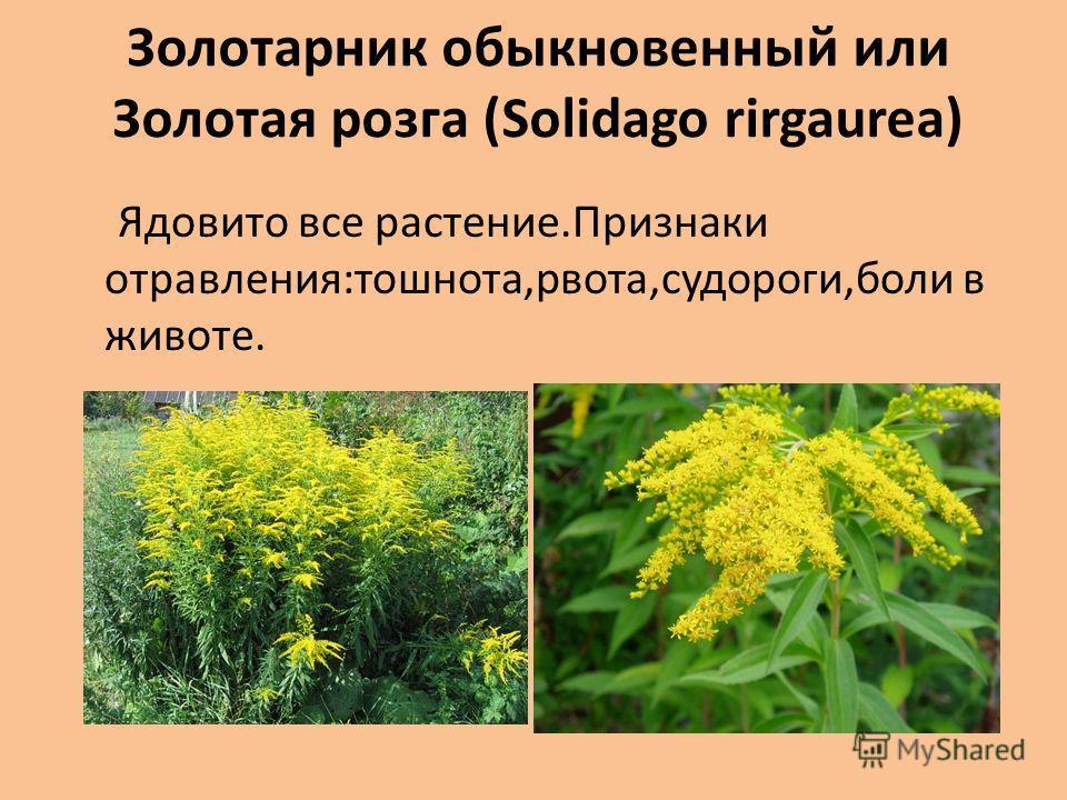 Золотарник обыкновенный или Золотая розга (Solidago rirgaurea) Ядовито все растение.Признаки отравления:тошнота,рвота,судороги,боли в животе.