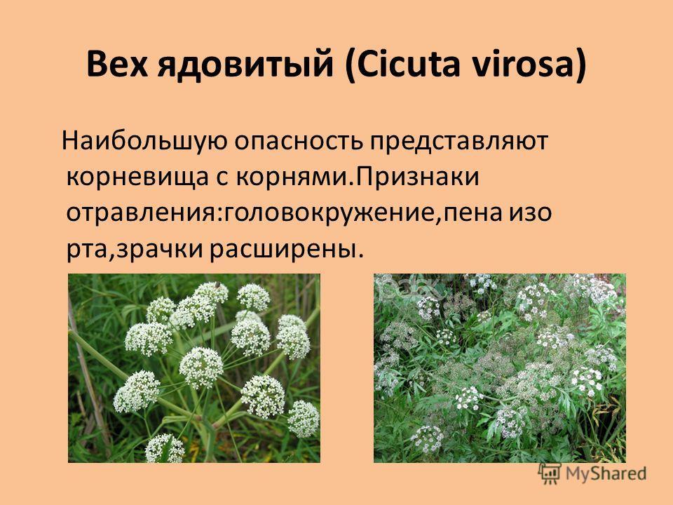 Вех ядовитый (Cicuta virosa) Наибольшую опасность представляют корневища с корнями.Признаки отравления:головокружение,пена изо рта,зрачки расширены.