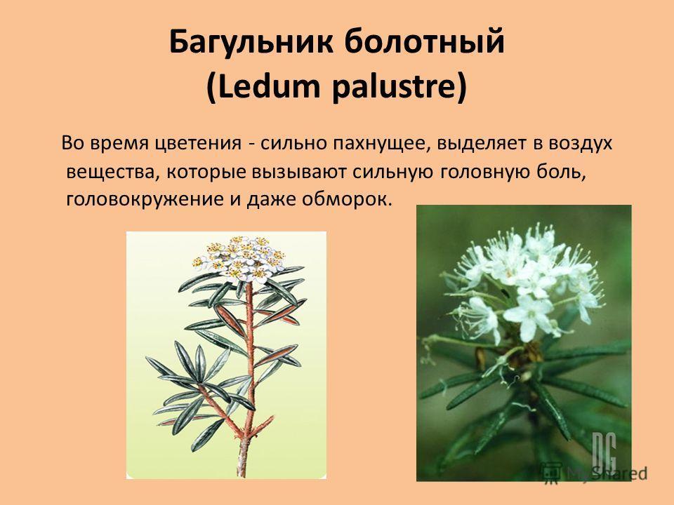 Багульник болотный (Ledum palustre) Во время цветения - сильно пахнущее, выделяет в воздух вещества, которые вызывают сильную головную боль, головокружение и даже обморок.