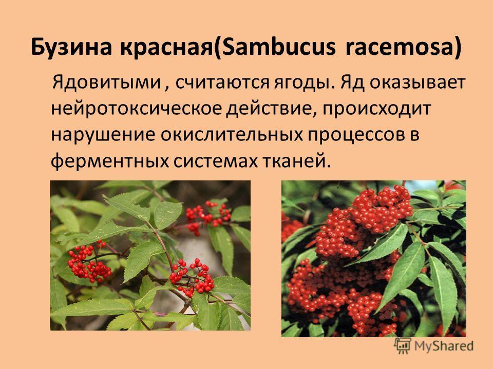 Бузина красная(Sambucus racemosa) Ядовитыми, считаются ягоды. Яд оказывает нейротоксическое действие, происходит нарушение окислительных процессов в ферментных системах тканей.