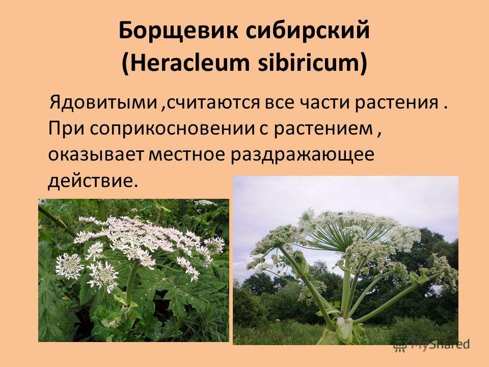 Борщевик сибирский (Heracleum sibiricum) Ядовитыми,считаются все части растения. При соприкосновении с растением, оказывает местное раздражающее действие.