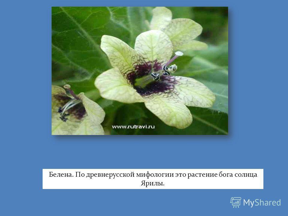Белена. По древнерусской мифологии это растение бога солнца Ярилы.