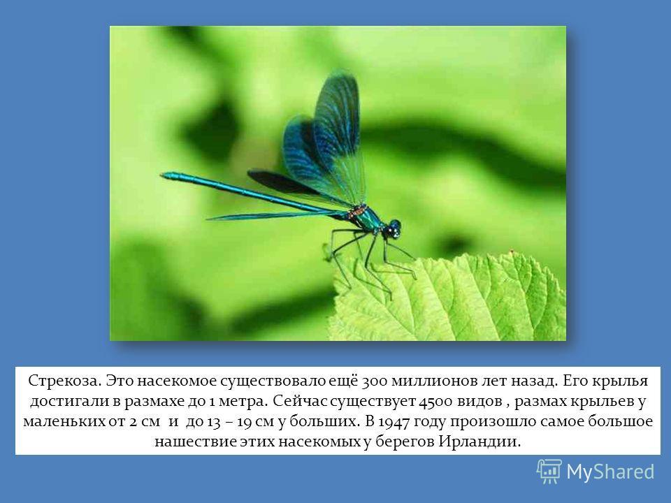 Стрекоза. Это насекомое существовало ещё 300 миллионов лет назад. Его крылья достигали в размахе до 1 метра. Сейчас существует 4500 видов, размах крыльев у маленьких от 2 см и до 13 – 19 см у больших. В 1947 году произошло самое большое нашествие эти