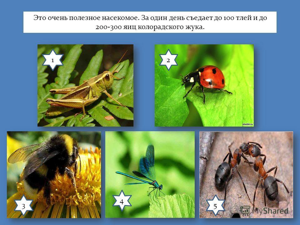 12 3 4 5 Это очень полезное насекомое. За один день съедает до 100 тлей и до 200-300 яиц колорадского жука.