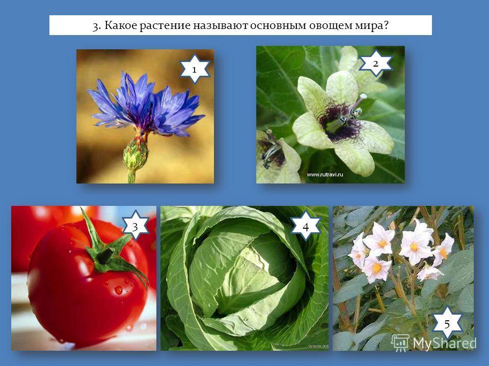 1 2 34 5 3. Какое растение называют основным овощем мира?