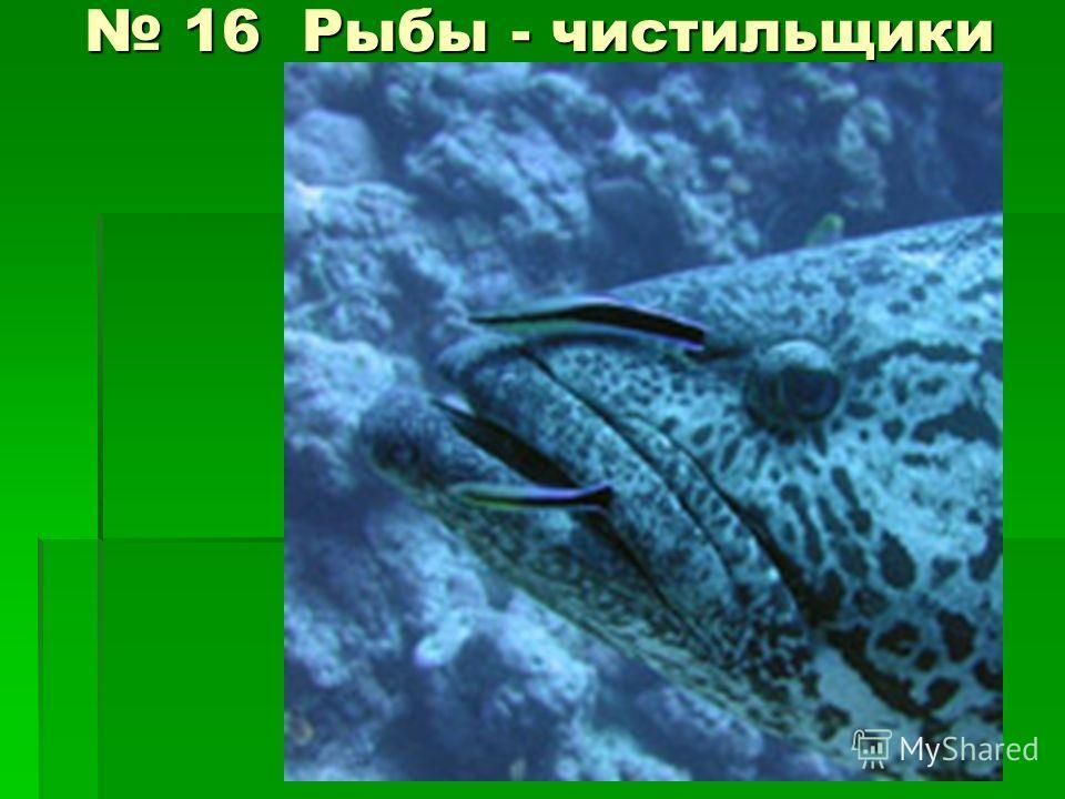 16 Рыбы - чистильщики 16 Рыбы - чистильщики