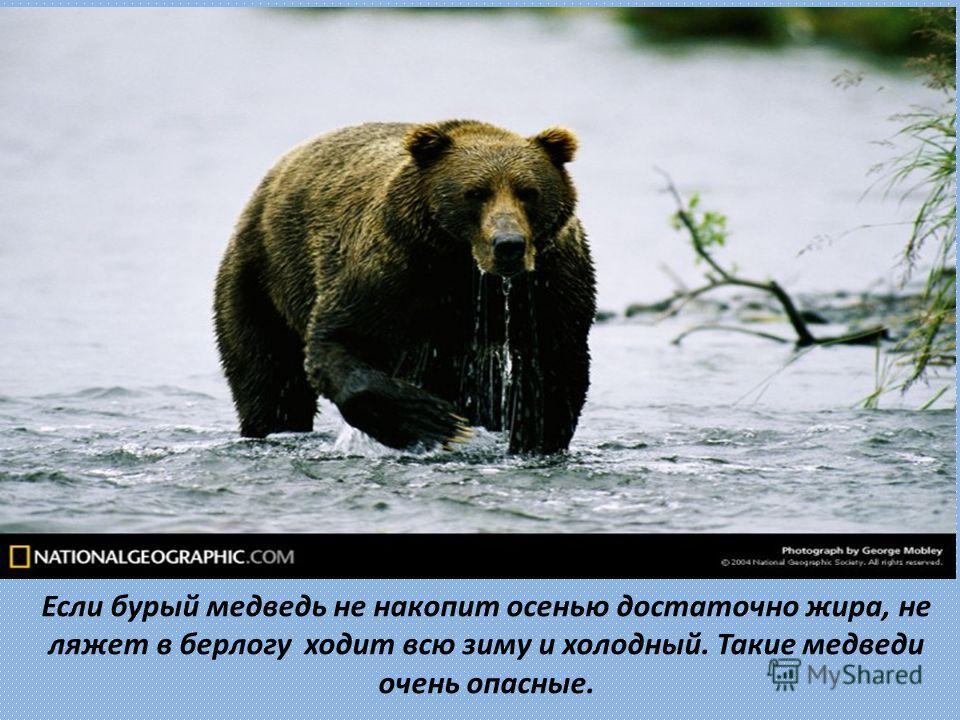 Если бурый медведь не накопит осенью достаточно жира, не ляжет в берлогу ходит всю зиму и холодный. Такие медведи очень опасные.