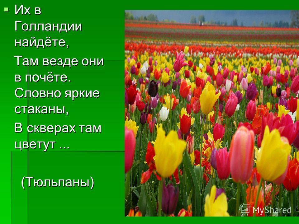 Их в Голландии найдёте, Их в Голландии найдёте, Там везде они в почёте. Словно яркие стаканы, Там везде они в почёте. Словно яркие стаканы, В скверах там цветут... В скверах там цветут...(Тюльпаны)