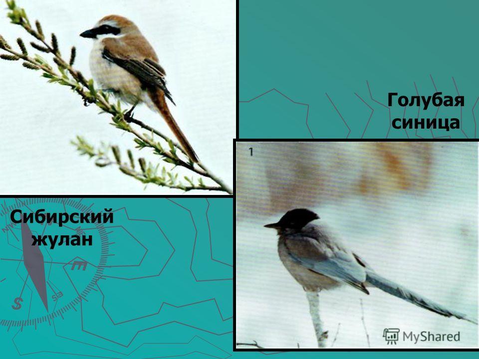 Сибирский жулан Голубая синица