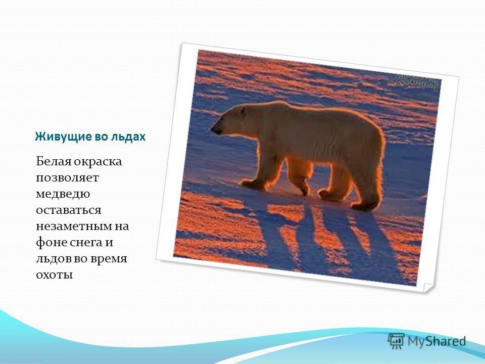 Живущие во льдах Белая окраска позволяет медведю оставаться незаметным на фоне снега и льдов во время охоты