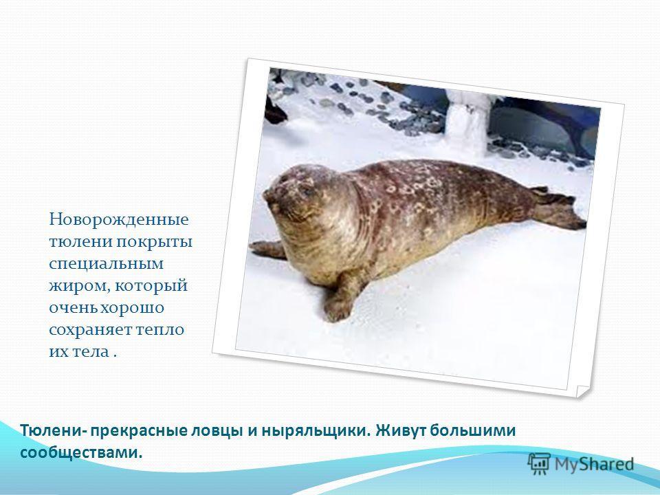 Тюлени- прекрасные ловцы и ныряльщики. Живут большими сообществами. Новорожденные тюлени покрыты специальным жиром, который очень хорошо сохраняет тепло их тела.