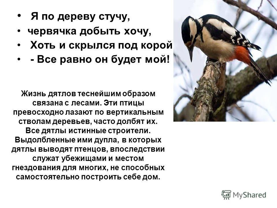 Я по дереву стучу, червячка добыть хочу, Хоть и скрылся под корой - Все равно он будет мой! Жизнь дятлов теснейшим образом связана с лесами. Эти птицы превосходно лазают по вертикальным стволам деревьев, часто долбят их. Все дятлы истинные строители.