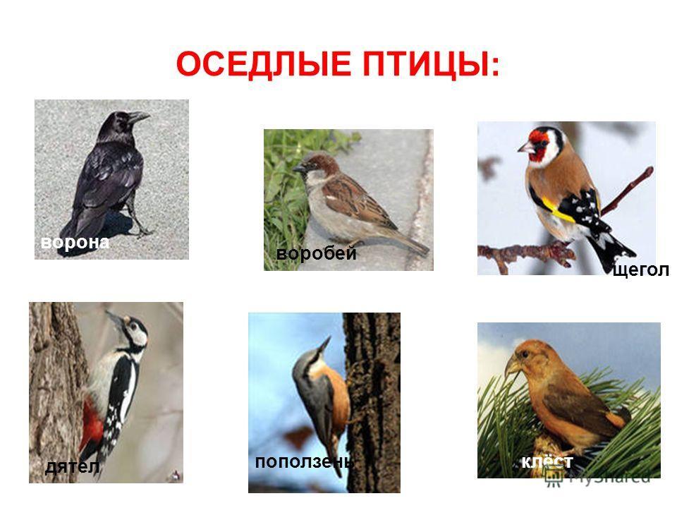 ОСЕДЛЫЕ ПТИЦЫ: ворона воробей щегол дятел поползеньклёст