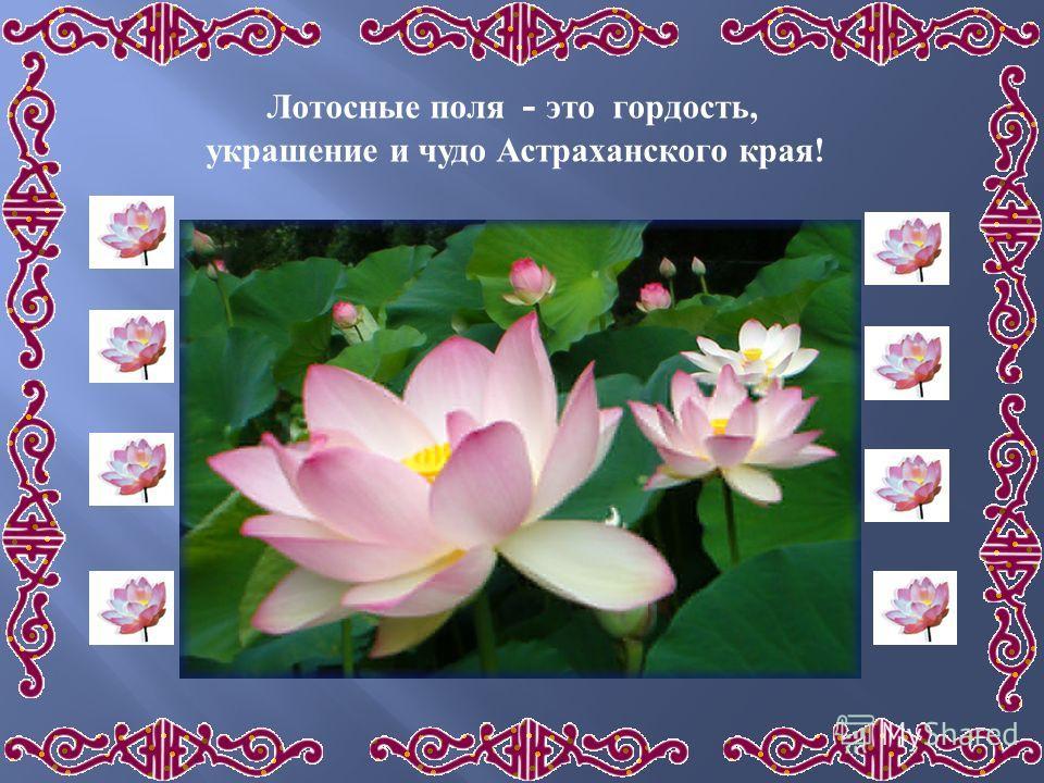Лотосные поля - это гордость, украшение и чудо Астраханского края!