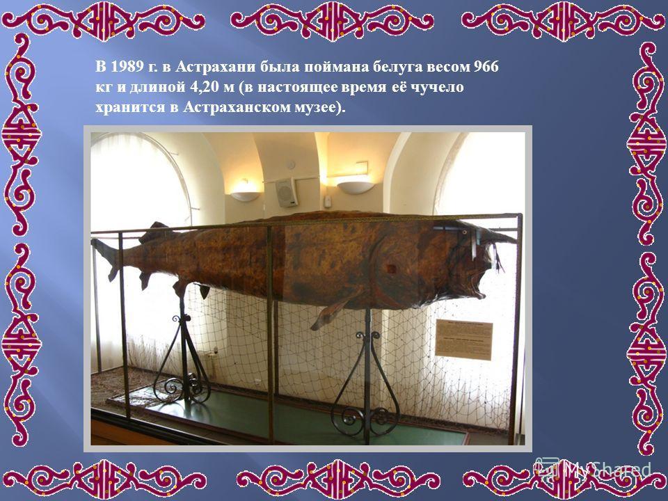 В 1989 г. в Астрахани была поймана белуга весом 966 кг и длиной 4,20 м (в настоящее время её чучело хранится в Астраханском музее).