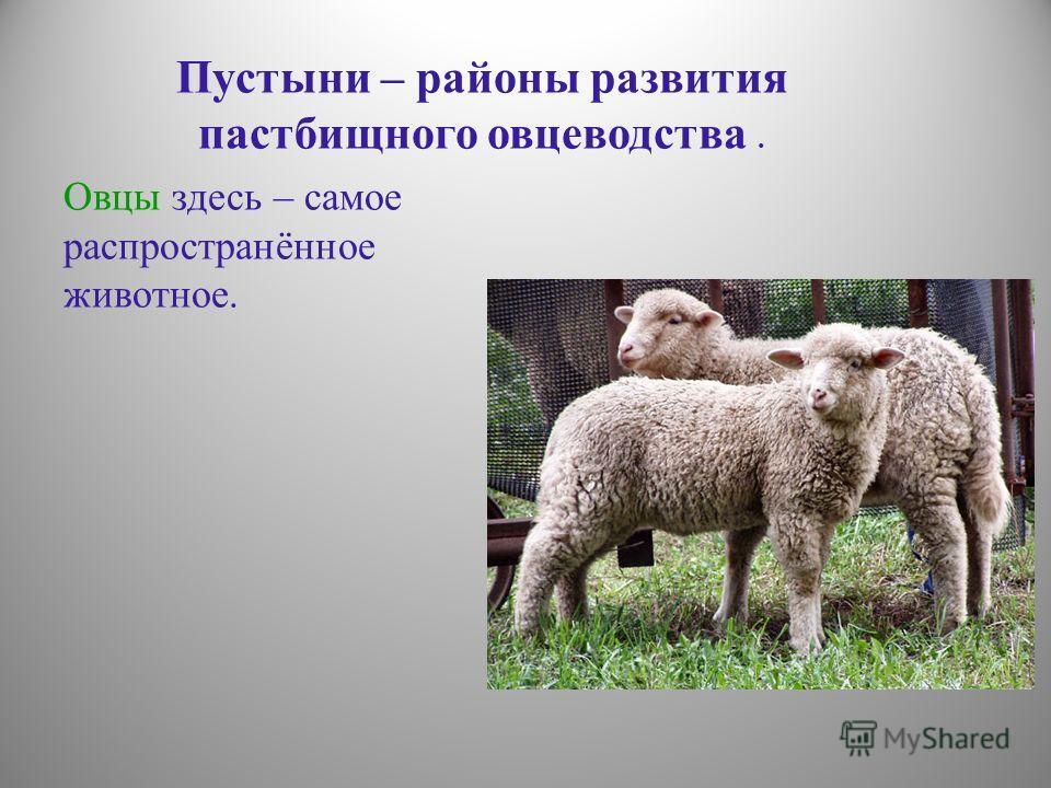 Пустыни – районы развития пастбищного овцеводства. Овцы здесь – самое распространённое животное.