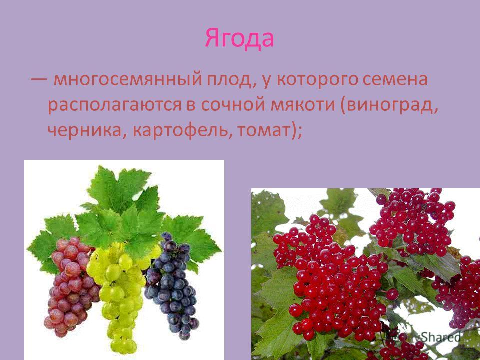 Ягода многосемянный плод, у которого семена располагаются в сочной мякоти (виноград, черника, картофель, томат);