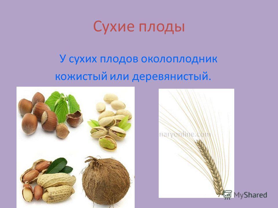Сухие плоды У сухих плодов околоплодник кожистый или деревянистый.