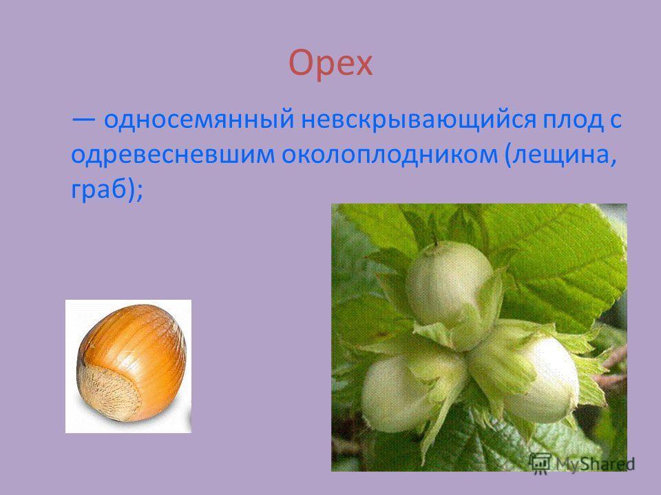 Орех односемянный невскрывающийся плод с одревесневшим околоплодником (лещина, граб);