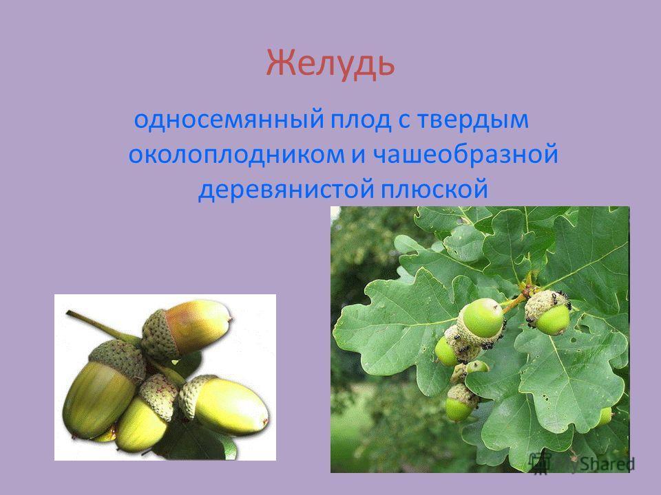 Желудь односемянный плод с твердым околоплодником и чашеобразной деревянистой плюской