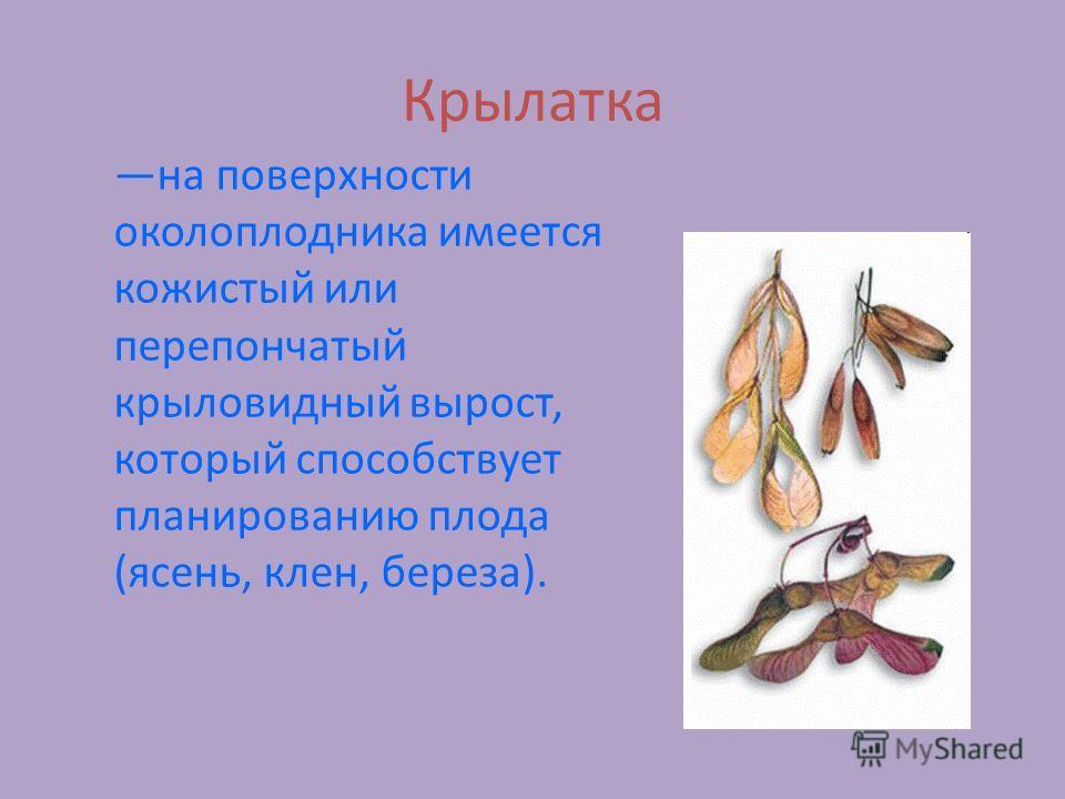 Крылатка на поверхности околоплодника имеется кожистый или перепончатый крыловидный вырост, который способствует планированию плода (ясень, клен, береза).