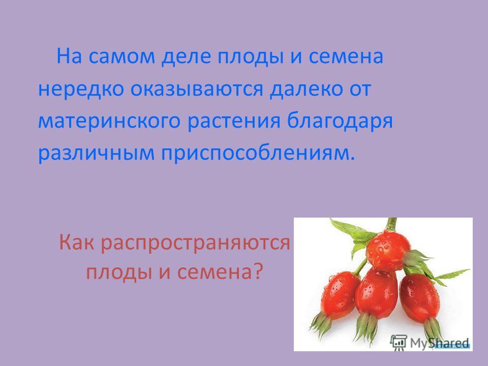 На самом деле плоды и семена нередко оказываются далеко от материнского растения благодаря различным приспособлениям. Как распространяются плоды и семена?